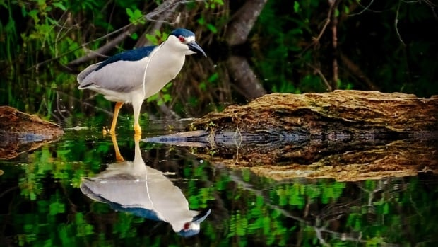 Jamie McCaffrey captured this black-crowned night heron in Ottawa this week.