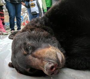 black bear salluit