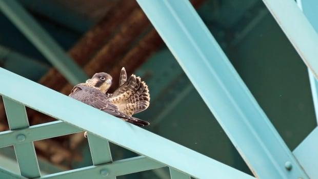 A juvenile peregrine falcon rests under the Ambassador Bridge in Windsor, Ont. on June 16, 2017.