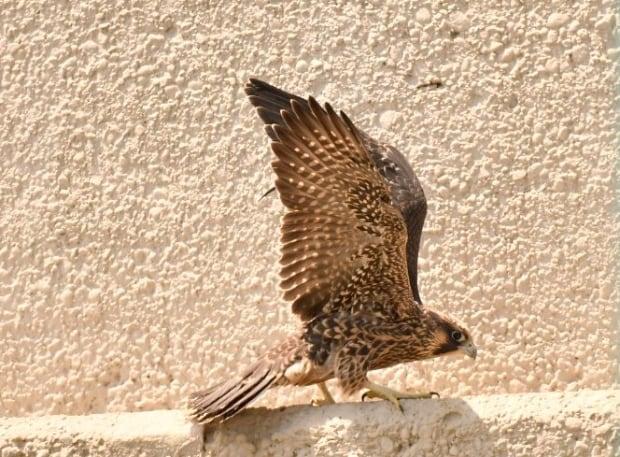 Peregrine falcon, Ambassador Bridge, Windsor