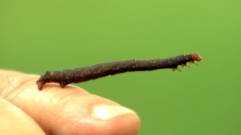 Winnipeg Experiences Year Of The Caterpillar As 3 Worm Species