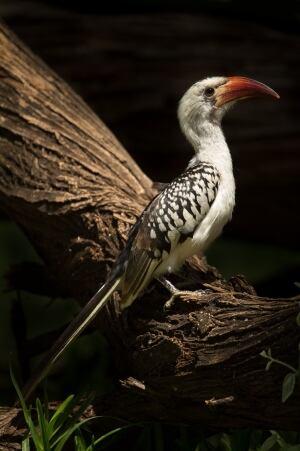 Red Hornbill female