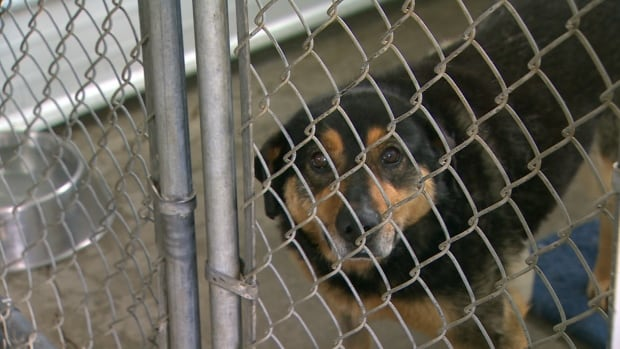 A dog delivered to the Yellowknife NWT SPCA in need of care. Despite increased penalties for animal cruelty in the territory, horrific cases continue to present themselves.