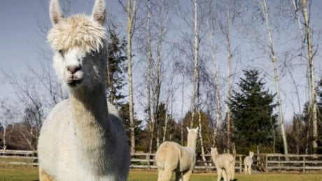 Alpacas at Kensington farm