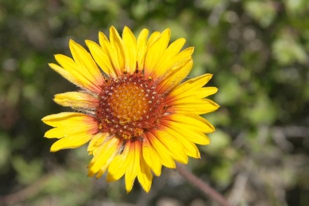 brown-eyed Susan southern Alberta wildflower