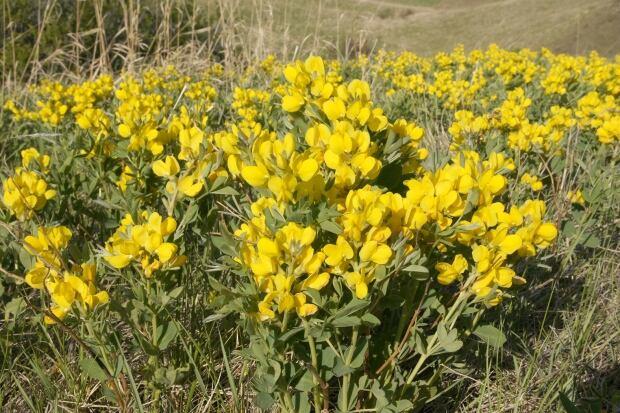 Buffalo bean wildflower southern Alberta