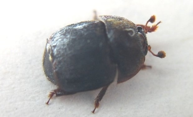small-hive-beetle