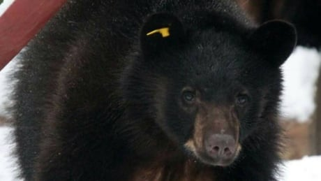 Bear escapes from Langley animal rehab centre