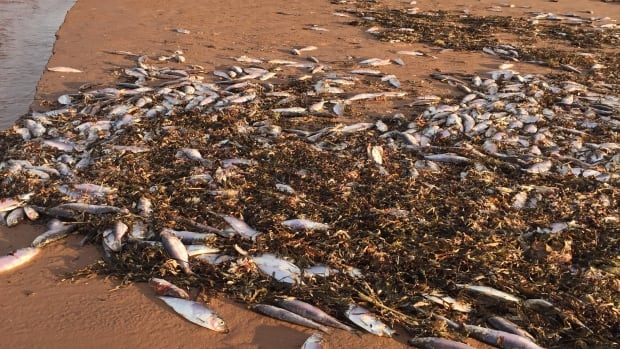 Parks Canada says the fish washing up on Island beaches died of natural causes.