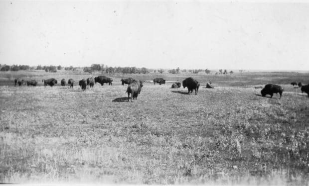 Bison herds
