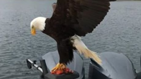 Video shows eagle stealing filet o' fish off B.C. boat