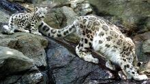 Irrelevant Show - Leopards