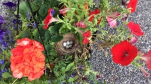 Found in a hanging basket: a junco bird's nest