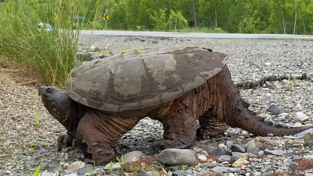 Snapping turtles populations have seen a decline in recent years, leading them to be added to Ontario's species at risk list.