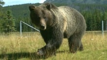 Grizzly bear trailcam