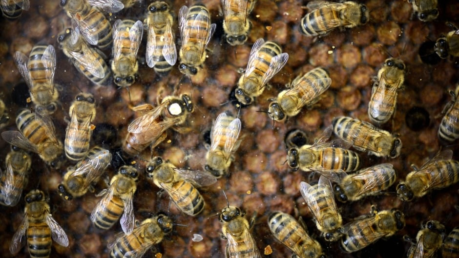 Pest control workers removed about 100,000 honey bees (not the ones pictured here) from the walls of an Ontario summer home.