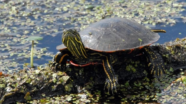 The Western painted turtle found in B.C.'s Pacific Region has been listed as an endangered species since 2006 but is still lacking any officially protected habitat under federal species-at-risk legislation.