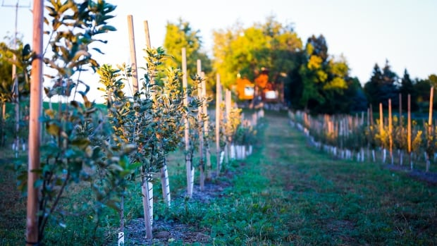 The owners of West Avenue Cider have planted 100 different types of heritage cider apple trees on their Somerset Orchards property in Freelton.