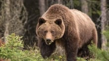 grizzly glares at viewer