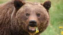 close up grizzly eating dandelions
