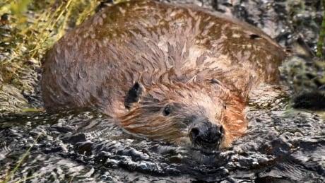 beaver swims forward
