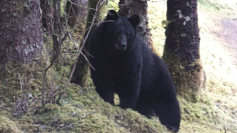 A black bear stands along a forest trail in Alaska. Black bears are considered to be less dangerous than grizzly bears but they have killed two people in ... & Alaska camper has tent crushed by bear is jailed on outstanding ...