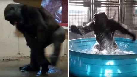 Former Calgary Zoo gorilla breakdances his way to more video fame