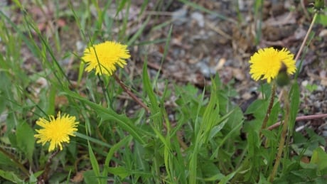 Taste of the park: Foraging for food in downtown Whitehorse
