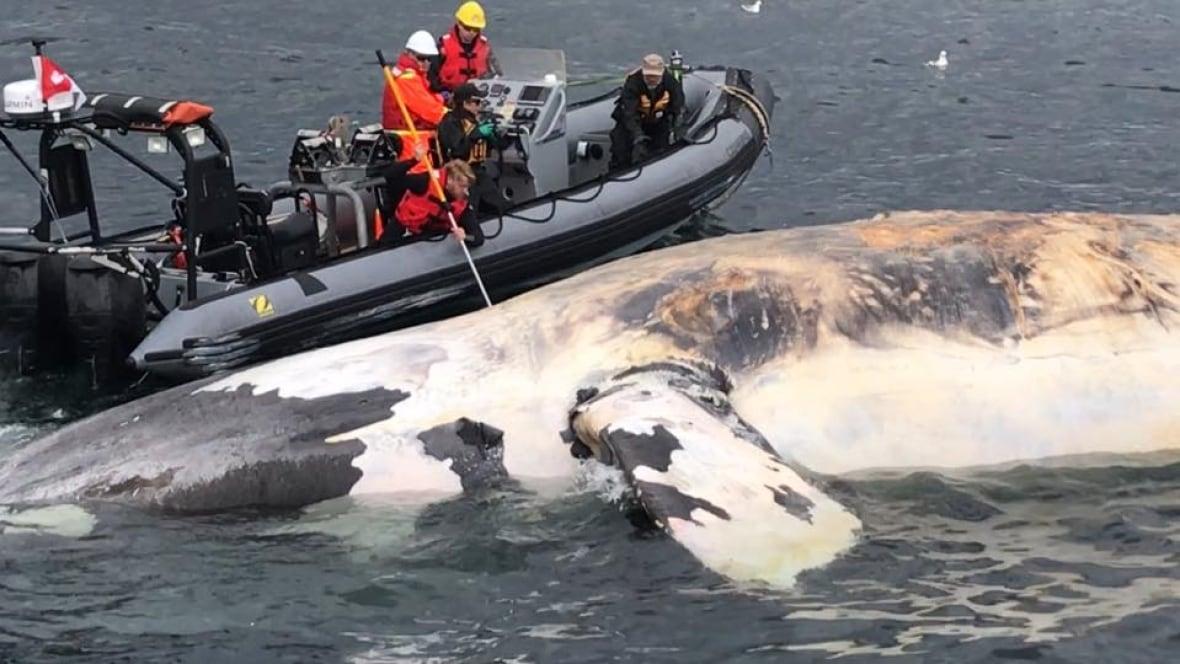 'Unprecedented event': 6 North Atlantic right whales found dead in June