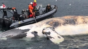 Marine biologist discusses investigation into 6 dead right whales