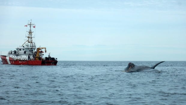 Six right whales were found dead in the Gulf of St. Lawrence in June.