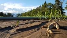 Holland Marsh floods crops