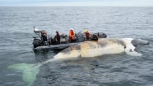 Right Whale Deaths 20170626