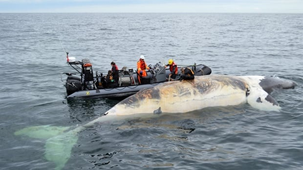 Marine mammal experts conduct a necropsy to figure out what caused the death of a North Atlantic right whale in the Gulf of St. Lawrence in June.