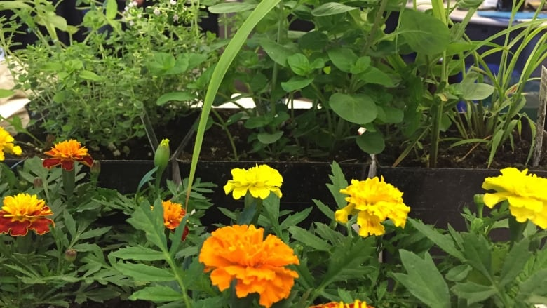 9 plants to make your own mosquito repellent   CBC News