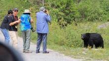 Bear photo tourists Banff