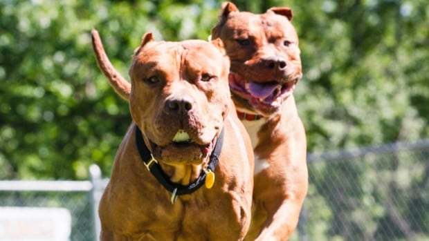 It is difficult to tell which dogs are 'restricted breeds' simply by looking at them says Fred Crittenden, Prince George's manager of bylaw services. He also found that less than 25 per cent of attacks involved dog breeds classified as dangerous.