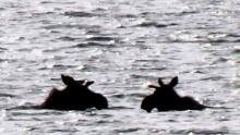 Paulatuk moose