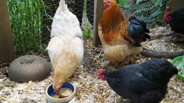Chickens mingle and eat in their coop in a backyard in London.