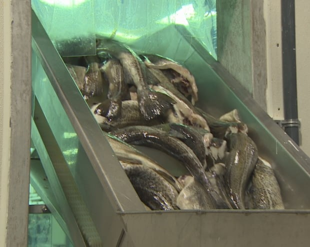 Cod on a filleting machine