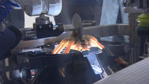 A robotic crab butchering machine could have significant implications for processing companies in Newfoundland and Labrador.