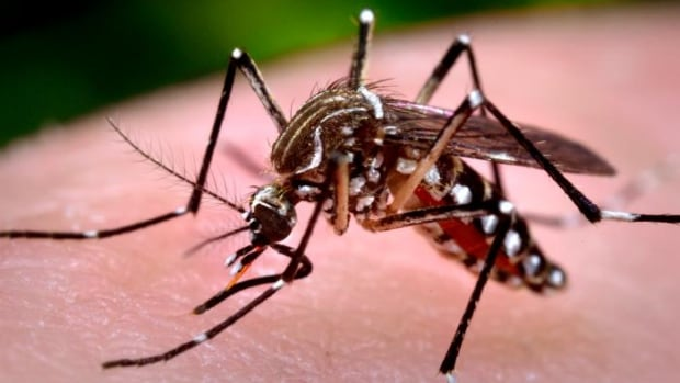 This 2006 photograph shows a female Aedes aegypti mosquito while she was in the process of acquiring a blood meal.