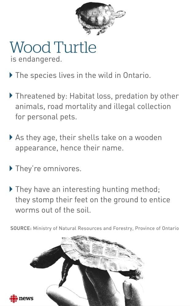 Wood Turtle Factoid