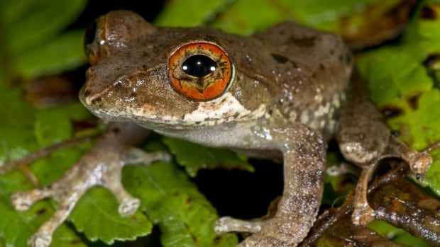 Tree frogs, such as this Boophis marojezensis from Madagascar, all evolved after the extinction of the dinosaurs, taking advantage of the gradual rebound in forests.