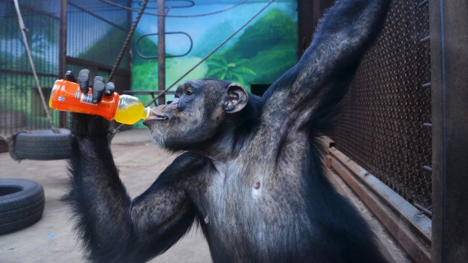 A chimpanzee drinks a beverage to cool off the summer heat.