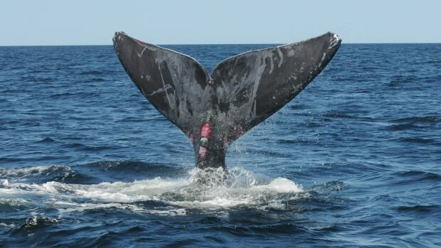 The right whale, which was freed from entanglement on Wednesday, has wounds that rescue officials believe are from the fishing gear it was caught in.