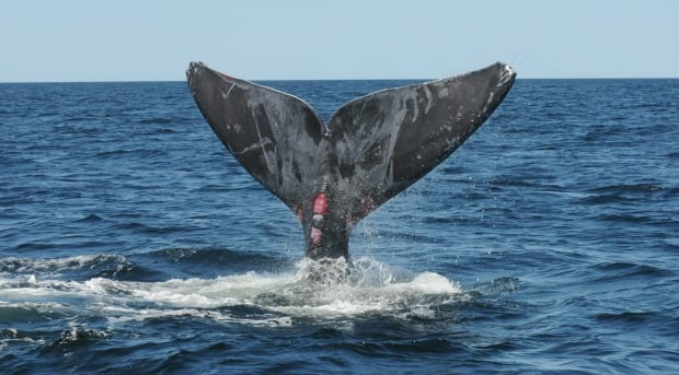 Right whale freed