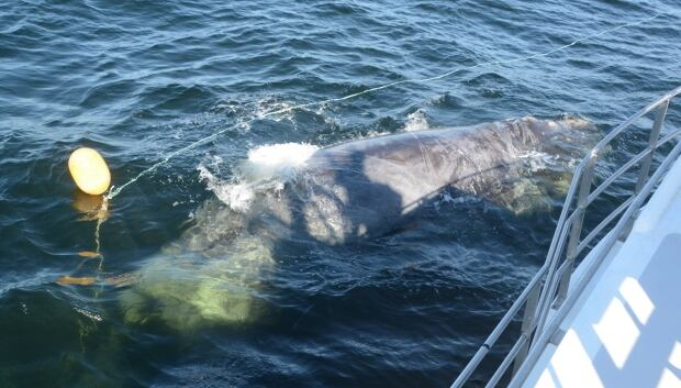 Right whale freed in Gulf of St. Lawrence
