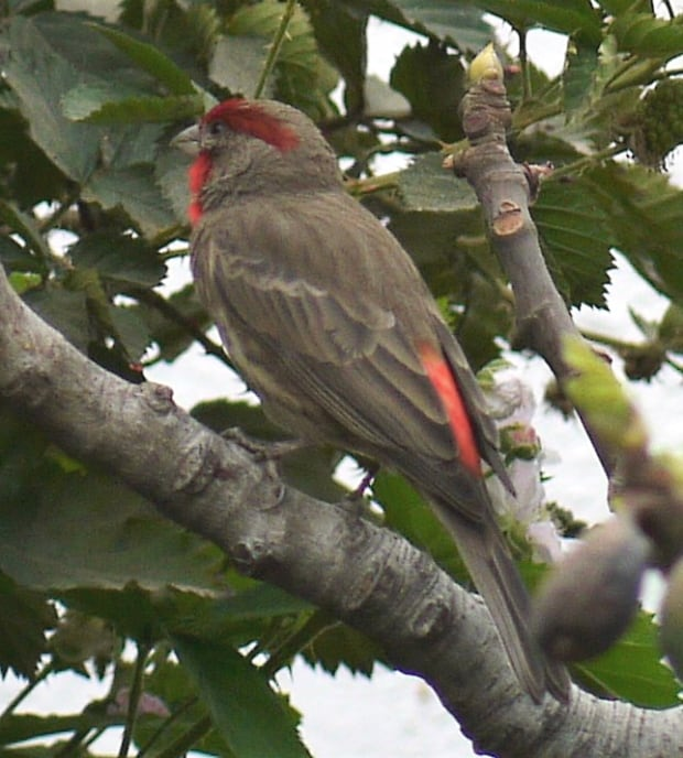 Mexico house finch