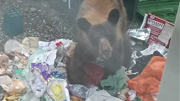 The bear 'was not afraid of people', according to conservation officers.